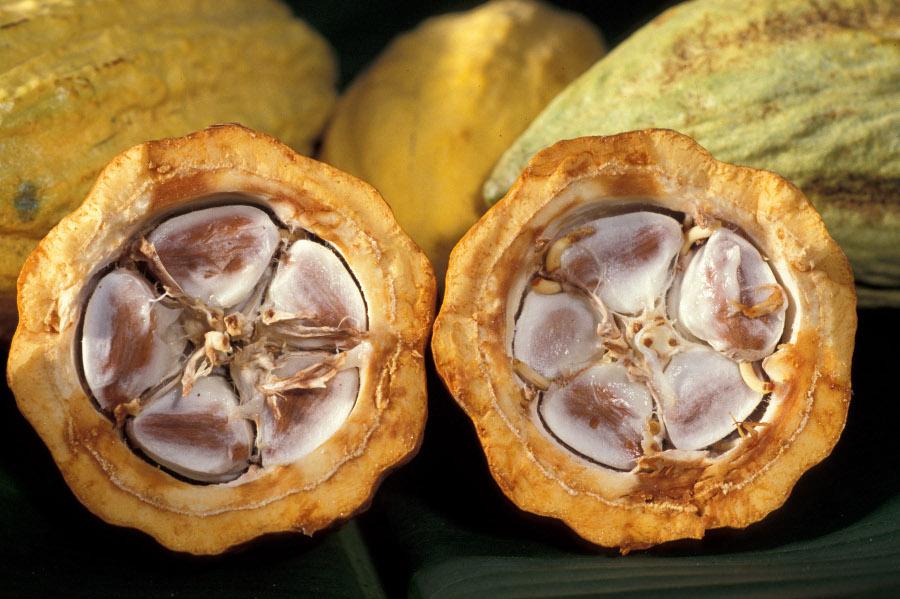 fève de cacao en coupe